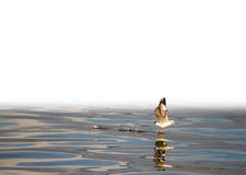 Caught. Seagull catching a piece of food and going the fly away Royalty Free Stock Photo