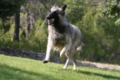 Caught. Big grey dog running with a ball Stock Images