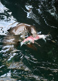 Caught. This Sea Lion has caught and eaten his dinner of fish Royalty Free Stock Photography