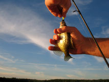 Caught. Fish caught by a fishing pole and being released back into the lake Stock Photos