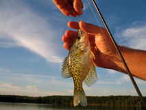 Caught. Fish caught by a fishing pole and being released back into the lake Stock Image