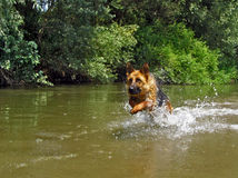 Caught in act. GSD running in the stream Stock Image