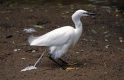 Caught in the act!. Egret doing a whoopsie at Coy Pond Bournemouth Royalty Free Stock Photo