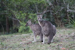Caught in the act. Kangaroos caught in the act Royalty Free Stock Photo