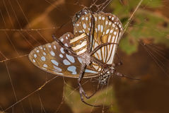 Caught in the act : Signature spider along with its kill (Butterfly) Stock Photography