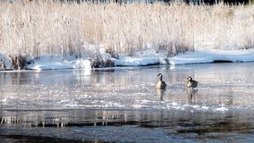 Caught in the aftermath of the storm. Geese caught in early spring snow storm. The pond they rest on is partially frozen.  They don`t look pleased Royalty Free Stock Photos