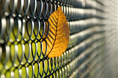 Caught autumn leave. Autumn beech leave caught in a wire-netting fence. With space for copy royalty free stock photography