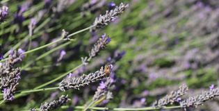 Bee resting on lavender plant. Caught a Bee having a quick rest on lavender plant royalty free stock photos