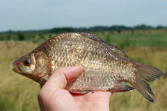 Caught big crucian in hand Stock Images
