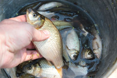 Caught big crucian in hand Royalty Free Stock Photos