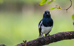 Black Billed Magpie Stock Photo