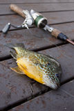 Caught Bluegill (Lepomis macrochirus) on a Dock. Recently caught bluegill (Lepomis macrochirus) on a dock Stock Images