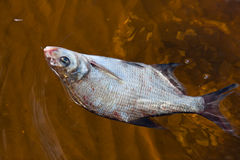 Caught bream Royalty Free Stock Image