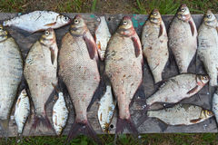 Caught bream on wooden table Stock Image