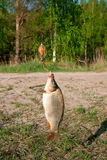 Caught carp fish on the spinning outdoors Stock Photography