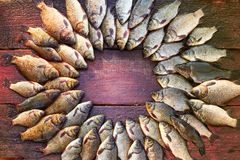 Caught carp fish on wood. Catching freshwater fish on wood background. Round a lot of bream fish, crucian or roach on royalty free stock image