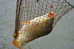 caught carp in a fishing landing net Royalty Free Stock Image