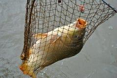Caught carp in a fishing landing net. Freshly caught carp in a fishing landing net royalty free stock image