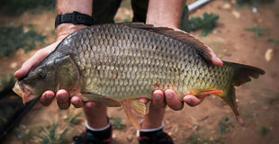Caught carp in hands. Lot of weight and live Stock Images