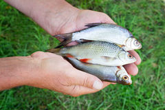 The caught catch of fish in hands at the fisherman. Royalty Free Stock Photography