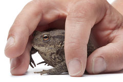Caught common toad Stock Images