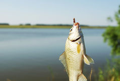 Caught crucian carp on a hook Royalty Free Stock Photo