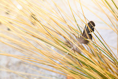 Caught in the Dune Grass Stock Image