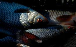 The caught fish. Stock Photos
