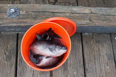 caught fish Στοκ φωτογραφία με δικαίωμα ελεύθερης χρήσης