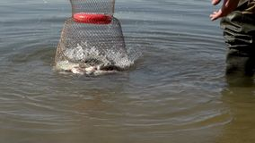 Caught fish in cage on river water during summer fishing. Hands fisherman launches caught fish into cage to save close up stock video footage