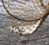 Caught fish. Fish caught in the fishnet Stock Image