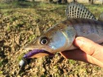 Caught fish Royalty Free Stock Photos