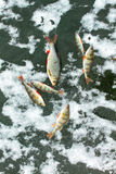 Caught fish on ice Stock Photo