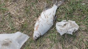Caught fish laying on grass among garbage after environmental contamination. Dying fish breathing mouth on shore after ecological disaster stock footage