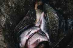 The caught fish lies in the iron bucket stock photography