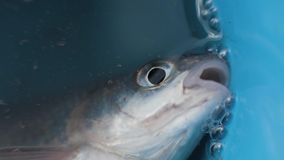 Caught fish lying in bucket with water and breathing mouth close up. Caught fish lying in bucket with water and breathing mouth. Close up choking fish on summer stock footage