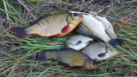 Caught fish lying on the grass. Freshly caught live fishes out of water lying on green grass stock footage