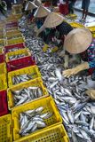 Caught fishes sorting to baskets by Vietnamese women workers in Tac Cau fishing port, Me Kong delta province of Kien Giang, south. Of Vietnam Royalty Free Stock Photos