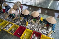 Caught fishes sorting to baskets by Vietnamese women workers in Tac Cau fishing port, Me Kong delta province of Kien Giang, south. Of Vietnam Stock Photography