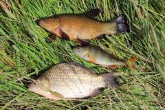 Caught fishes tench, perch and crucian Stock Image