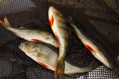 Caught four perch on spinners at nets Royalty Free Stock Photography