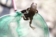 Caught frog in net royalty free stock images