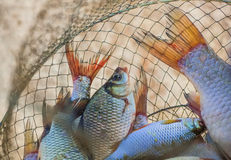 Caught, live, freshly caught river fish from the pond. Stock Images