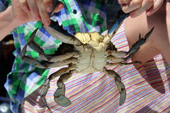Caught live male Blue crab in child`s hands Stock Images