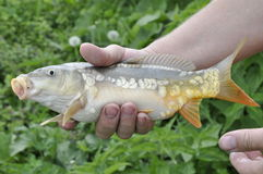 Caught mirror carp. In the hands of the fisherman Royalty Free Stock Images