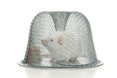 Caught mouse. Stock Photography