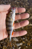 Caught perch in hand Stock Photos