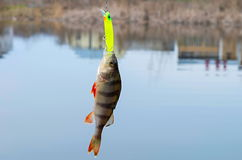 Caught perch Stock Image