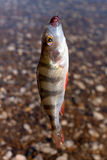 Caught perch Stock Photography