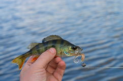 Caught perch Royalty Free Stock Image
